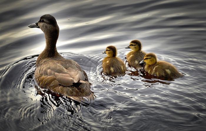sostegno alla genitorialità: un esempio da mamma anatra con i piccoli in acqua